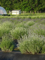 Lavender-field-w-greenhouse