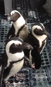 penguins-at-clemet-zoo