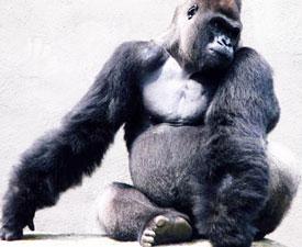 cleveland-zoo-gorilla