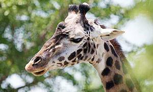 toledo-zoo-giraffe