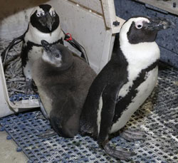 toledo-zoo-penguins-3-web