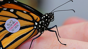 toledo-zoo-monarch-tag-butterflies-in-mexico