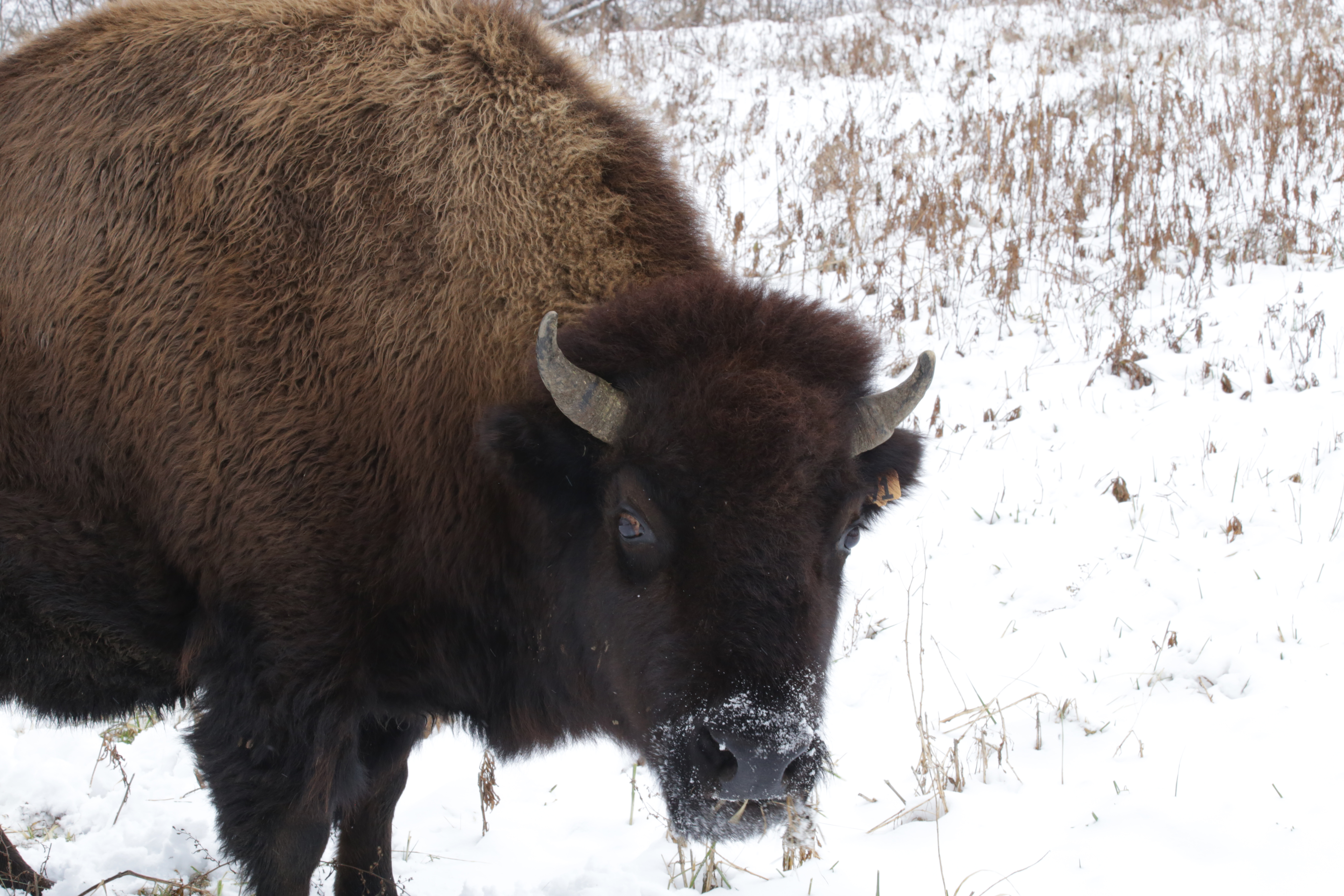 0d2d400caf7af Herds of wild bison were last seen in Ohio more than 200 years ago. Bison  are well insulated for the winter cold as their hide is very dense and the  fur ...